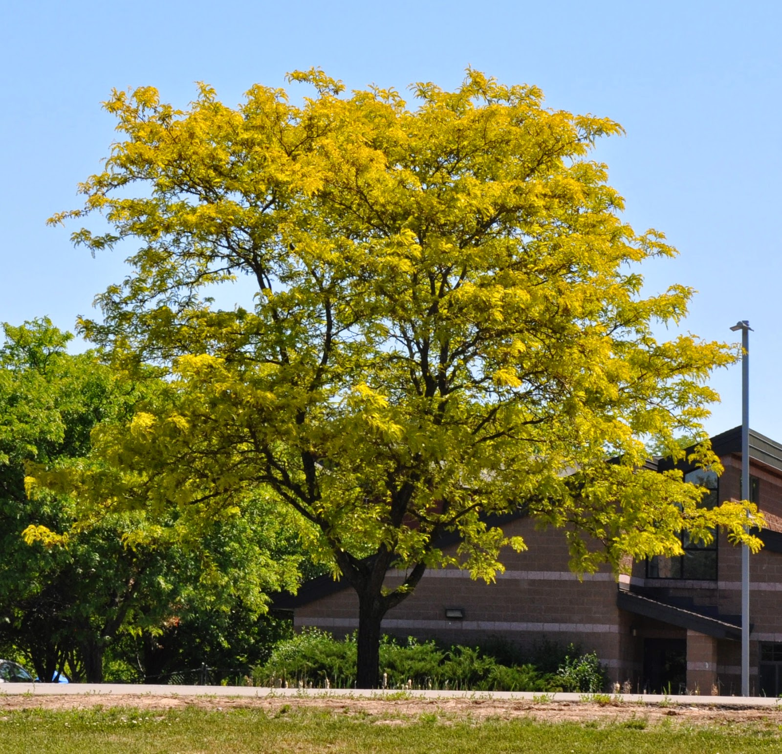 memorial tree - seedless honey locust.jpg